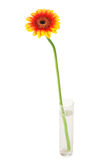 Herbera. In a glass vase over white background Stock Photography