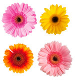 Herbera. Four different color herberas over white background Stock Photography