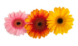 Herbera. Three different color herberas over white background Royalty Free Stock Images