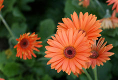 Herbera daisy Stock Photography
