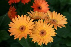 Herbera daisy Stock Image