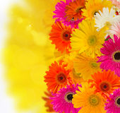 Herbera flowers. Border of bright gerbera flowers  on bokeh background Royalty Free Stock Photo