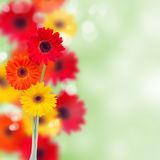 Herbera flowers background Royalty Free Stock Photos