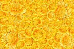 Herbera flowers background. Bright yellow gerbera flowers horizontal background Stock Photos