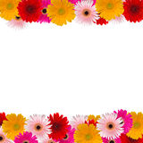 Herbera flowers fame. Herbera flowers frame isolated on white background Royalty Free Stock Images