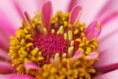 Herbera. Purple herber os closeup, macro shot Stock Images