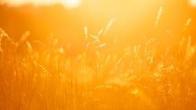 Herbes éclairées à contre-jour par le fond chaud de coucher de soleil Photo stock