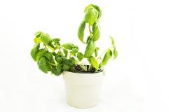 Herbes Basil Photo stock