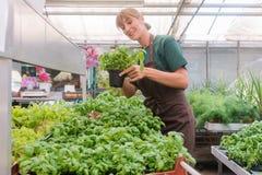 Herbes croissantes de jardinier du marché en sa serre chaude photographie stock libre de droits