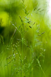 Herbes d'amende de portrait d'habitat Photo stock