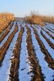 Herbes dans des domaines de maïs image libre de droits