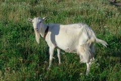 Herbes de chèvre blanches sur l'au sol de village Photographie stock libre de droits