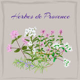 Herbes de Provence. Thyme, Savory, Oregano Marjoram Rosemary Vector illustration Royalty Free Stock Image