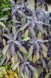 Herbes de sauge pourpre s'élevant dans le jardin Photographie stock libre de droits