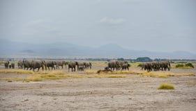 Herbes des éléphants Photographie stock libre de droits