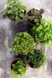 Herbes du cru et aromatiques dans de vieux pots d'argile Photographie stock