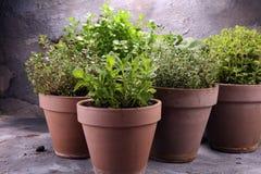 Herbes du cru et aromatiques dans de vieux pots d'argile Photos libres de droits