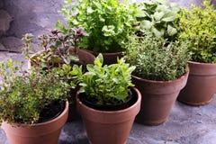Herbes du cru et aromatiques dans de vieux pots d'argile Photos stock