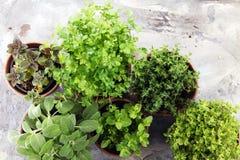 Herbes du cru et aromatiques dans de vieux pots d'argile Image libre de droits