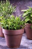 Herbes du cru et aromatiques dans de vieux pots d'argile Ensemble d'herbes culinaires Élevage vert sage, origan et romarin Image stock