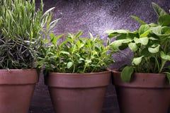 Herbes du cru et aromatiques dans de vieux pots d'argile Ensemble d'herbes culinaires Élevage vert sage, origan et romarin Photos libres de droits