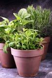 Herbes du cru et aromatiques dans de vieux pots d'argile Ensemble d'herbes culinaires Élevage vert sage, origan et romarin Photographie stock libre de droits
