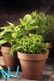 Herbes du cru et aromatiques dans de vieux pots d'argile Ensemble d'herbes culinaires Élevage vert sage, origan et romarin Photographie stock