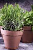 Herbes du cru et aromatiques dans de vieux pots d'argile Ensemble d'herbes culinaires Élevage vert sage, origan et romarin Photo libre de droits