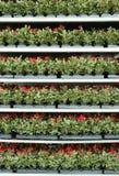 Herbes en serre chaude Image libre de droits