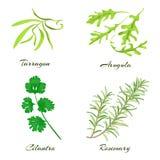 herbes Estragon, arugula, cilantro ou coriandre, romarin Photographie stock