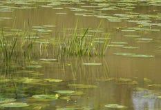 Herbes et garnitures de lis dans le lac Photographie stock