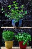 Herbes fraîches dans des bacs Photo libre de droits