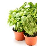 Herbes fraîches dans des bacs de jardinage Photos libres de droits
