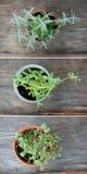 Herbes fraîches dans des pots de fleur Photographie stock