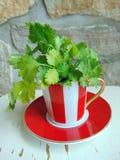 Herbes fraîches de coriandre dans une belle tasse rayée rouge et blanche photos libres de droits