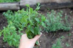 Herbes fraîches du cru organiques moissonnées Photos libres de droits