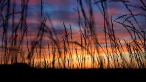 Herbes grandes Sillhouetted par les nuages oranges, jaunes, roses dans le coucher du soleil bleu-foncé de ciel Photos libres de droits