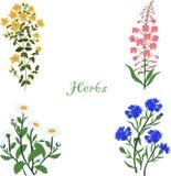 Herbes, Hypericum, Angustifolium, camomille, bleuets, illustration Photos libres de droits