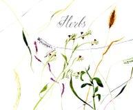 herbes Illustration d'aquarelle Photo libre de droits