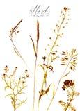 herbes Illustration d'aquarelle Photographie stock libre de droits