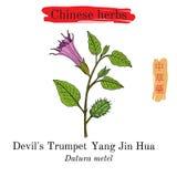 Herbes médicinales de la Chine Trompette de diable illustration de vecteur