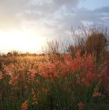 Herbes mélangées avec le fond de coucher du soleil Images libres de droits