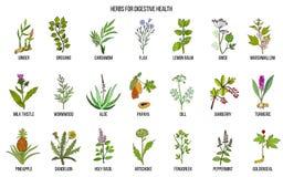 Herbes pour la santé digestive illustration libre de droits