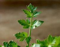 Herbes prochaines de céleri Photographie stock
