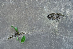 Herbes s'élevant en fissures dans le mur en béton Photographie stock libre de droits