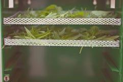 Herbes sauvages écologiques, saines et nutritives de séchage de nourriture dans le dessiccateur images libres de droits