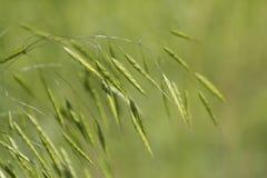 Herbes sauvages de grain de l'Alabama Images libres de droits