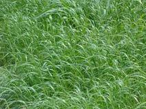 Herbes soufflées par le vent Photographie stock libre de droits