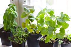 Herbes sur la fenêtre photos stock