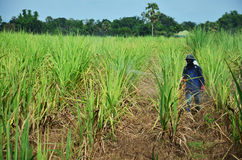 Herbicida de pulverização do fazendeiro no campo da cana-de-açúcar Imagens de Stock Royalty Free